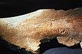 Omoplato o escápula con la silueta de una cabeza de cierva, procedente de las excavaciones de la Cueva del Mirón 02.jpg