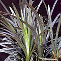 Ophiopogon-planiscapus-Nigr.jpg