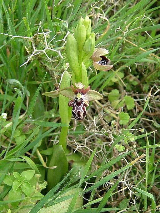 Ophrys kotschyi Pentadaktylos