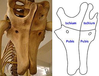 Opisthocoelicaudia - The ischium and pubis bones. The gap normally present between these bones is closed, a characteristic of Opisthocoelicaudia