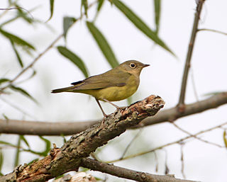 Connecticut warbler Species of bird