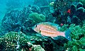 Orange-striped Emperor (Lethrinus obsoletus) (8503209768).jpg