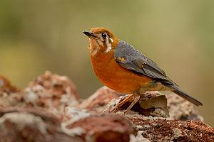 Dandeli Wildlife Sanctuary - Image: Orange headed thrush (Z. c. cyanotus)