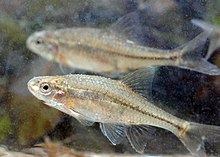 Oregon chub (12075815994).jpg
