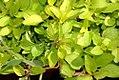 Origanum vulgare aureum 0zz.jpg