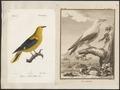 Oriolus galbula - 1700-1880 - Print - Iconographia Zoologica - Special Collections University of Amsterdam - UBA01 IZ16400159.tif