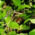 Orthetrum Sabina, Slender skimmer (female) .JPG