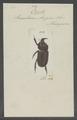 Oryctes - Print - Iconographia Zoologica - Special Collections University of Amsterdam - UBAINV0274 021 06 03 0008.tif