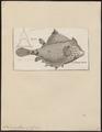 Ostracion gibbosus - 1700-1880 - Print - Iconographia Zoologica - Special Collections University of Amsterdam - UBA01 IZ15400215.tif