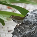 Ovenbird (5271142950).jpg