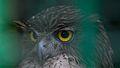 Owl look from trivandrum zoo.jpg