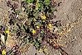 Oxalidales - Oxalis corniculata - 2.jpg