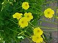 Oxalis-pes-caprae-2012-flowers-0005b.jpg