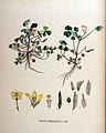 Oxalis corniculata — Flora Batava — Volume v18.jpg