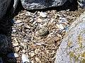 Oystercatcher nest (2).jpg