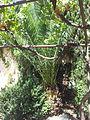 P. canariensis en Salamanca Huerto de Calixto y Melibea.jpg