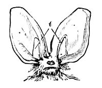 PSM V09 D552 Head of a large eared bat.jpg