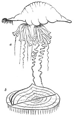 PSM V16 D662 Portuguese man of war.jpg