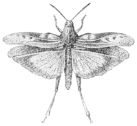 PSM V53 D686 Coral winged locust in flight.png