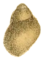 Pachydrobiella brevis shell 2.png