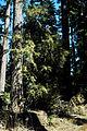 Pacific yew tree.jpg