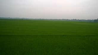 Paddy field - Paddy field in West Bengal, India