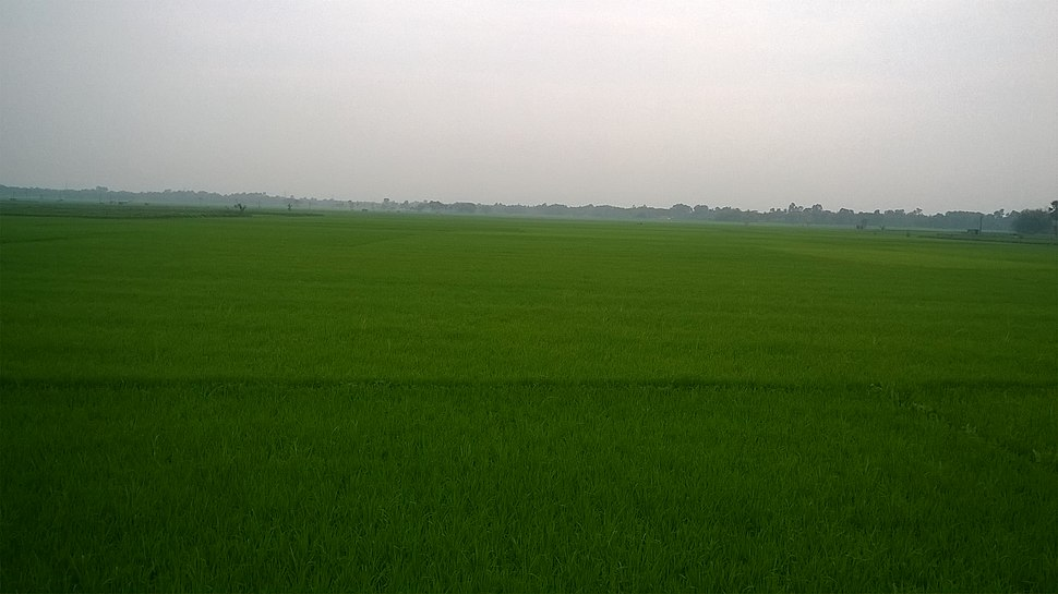 Paddy field in West Bengal