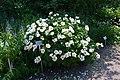 Paeonia lactiflora 2021 06 20 Kumpula 0372.jpg