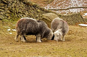 Science studies - Herdwicks grazing in Cumbria