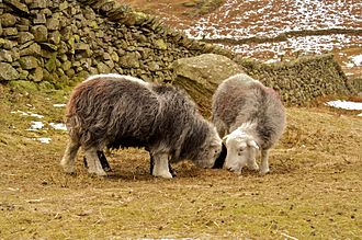 Science studies - Herdwicks grazing in Cumbria