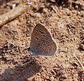 Pale Grass Blue. Pseudozizeeria maha. Lycaenidae - Flickr - gailhampshire.jpg