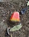 Pandanus heterocarpus fruits - Grande Montagne 2.jpg