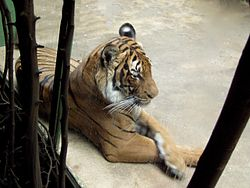 Panthera tigris corbetti.jpg
