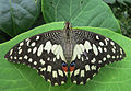 Papilio demoleus freshly emerged.jpg