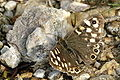 Pararge.aegeria.female.jpg