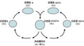 Parasexual cycle of Candida albicans-zh-hant.png