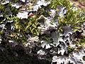 Parmelia sulcata2.jpg