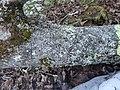 Parmelia sulcata 117606308.jpg