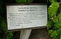 Parrotia persica, Kornik (2).JPG