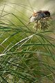 Passer domesticus on Ampelodesmos mauritanicus JdP 2013-06-14 n01.jpg
