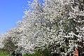 Pavasaris,zied plūmes. Spring - panoramio.jpg