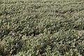 Peanut Field 20020400 4.jpg