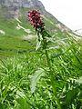 Pedicularis recutita01.jpg