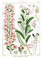 Pedicularis zeylanica Govindoo.jpg