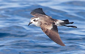 White-faced storm petrel - White-faced storm petrel photographed in Tasmania, Australia