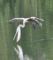 Pelican 555.jpg