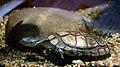 Pelomedusa subrufa Vivarium Tournai 27122015 2.jpg