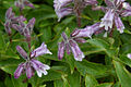 Penstemon frutescens (200707).jpg