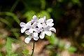 Perennial honesty Lunaria rediviva (9001832299).jpg