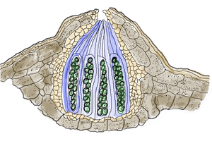 Ascocarp - Diagram of a pseudothecium. Eight ascospores (green) are typically present in each ascus.